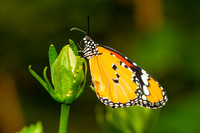 Malay lacewing butterfly, Cethosia hypsea